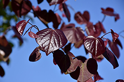 Merlot Redbud (Cercis canadensis 'Merlot') at The Home And Garden Center