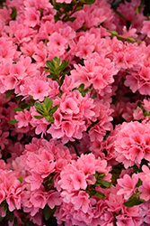 Coral Bells Azalea (Rhododendron 'Coral Bells') at The Home And Garden Center