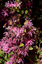 Burgundy Fringeflower (Loropetalum chinense 'Burgundy') at The Home And Garden Center