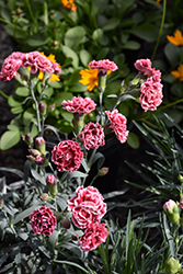 Scent First® Sugar Plum Pinks (Dianthus 'WP IAN04') at The Home And Garden Center
