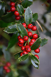 Christmas Jewel Holly (Ilex 'HL10-90') at The Home And Garden Center