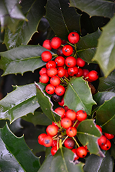 Nellie R. Stevens Holly (Ilex 'Nellie R. Stevens') at The Home And Garden Center