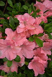 Encore® Autumn Debutante™ Azalea (Rhododendron 'Roblel') at The Home And Garden Center
