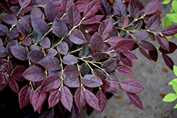 Ruby Snow™ Fringeflower (Loropetalum chinense 'sPg-3-002') at The Home And Garden Center