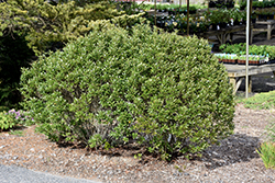 Steeds Japanese Holly (Ilex crenata 'Steeds') at The Home And Garden Center