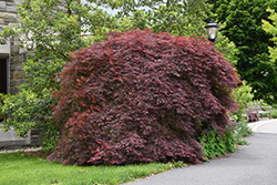 Tamukeyama Japanese Maple (Acer palmatum 'Tamukeyama') at The Home And Garden Center