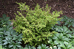 Golden Dream Boxwood (Buxus microphylla 'Peergold') at The Home And Garden Center