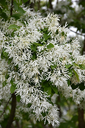 Chinese Fringetree (Chionanthus retusus) at The Home And Garden Center