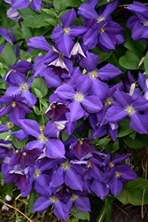Jackmanii Clematis (Clematis x jackmanii) at The Home And Garden Center