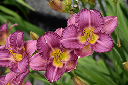 Strutter's Ball Daylily (Hemerocallis 'Strutter's Ball') at The Home And Garden Center