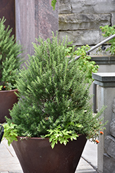 Tuscan Blue Rosemary (Rosmarinus officinalis 'Tuscan Blue') at The Home And Garden Center