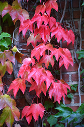 Boston Ivy (Parthenocissus tricuspidata) at The Home And Garden Center