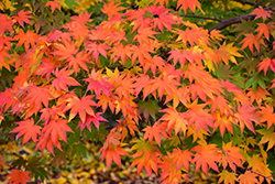 Japanese Maple (Acer palmatum) at The Home And Garden Center