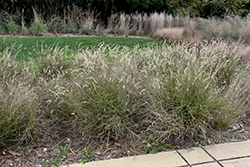 Karley Rose Oriental Fountain Grass (Pennisetum orientale 'Karley Rose') at The Home And Garden Center