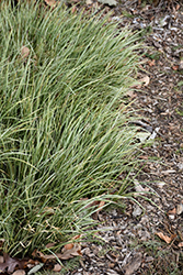 Variegated Grassy-Leaved Sweet Flag (Acorus gramineus 'Variegatus') at The Home And Garden Center