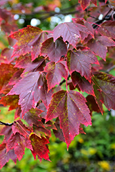 Red Sunset Red Maple (Acer rubrum 'Red Sunset') at The Home And Garden Center