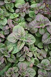 Oregano (Origanum vulgare) at The Home And Garden Center