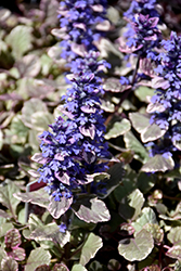 Burgundy Glow Bugleweed (Ajuga reptans 'Burgundy Glow') at The Home And Garden Center