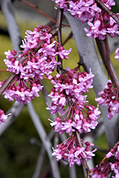 Lavender Twist Redbud (Cercis canadensis 'Covey') at The Home And Garden Center