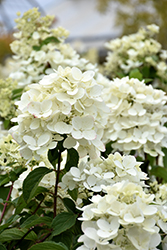 Diamond Rouge® Hydrangea (Hydrangea paniculata 'Rendia') at The Home And Garden Center