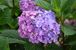 Bloomstruck® Hydrangea (Hydrangea macrophylla 'PIIHM-II') at The Home And Garden Center
