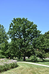 Chinkapin Oak (Quercus muehlenbergii) at The Home And Garden Center