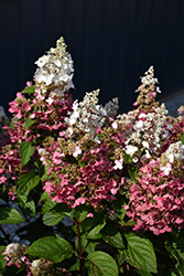 Pinky Winky® Hydrangea (Hydrangea paniculata 'DVPPINKY') at The Home And Garden Center