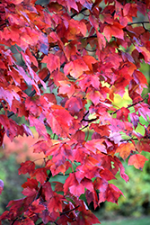 Red Maple (Acer rubrum) at The Home And Garden Center