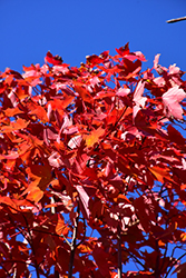 October Glory Red Maple (Acer rubrum 'October Glory') at The Home And Garden Center