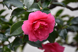 Shishigashira Camellia (Camellia sasanqua 'Shishigashira') at The Home And Garden Center