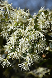 Emerald Snow® Fringeflower (Loropetalum 'Shang-white') at The Home And Garden Center
