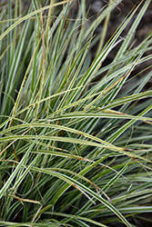 Everest Variegated Japanese Sedge (Carex oshimensis 'Carfit01') at The Home And Garden Center