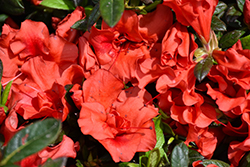 Encore® Autumn Embers™ Azalea (Rhododendron 'Conleb') at The Home And Garden Center