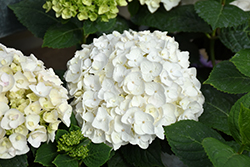 Blushing Bride® Hydrangea (Hydrangea macrophylla 'Blushing Bride') at The Home And Garden Center