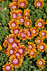 Fire Spinner Ice Plant (Delosperma 'Fire Spinner') at The Home And Garden Center
